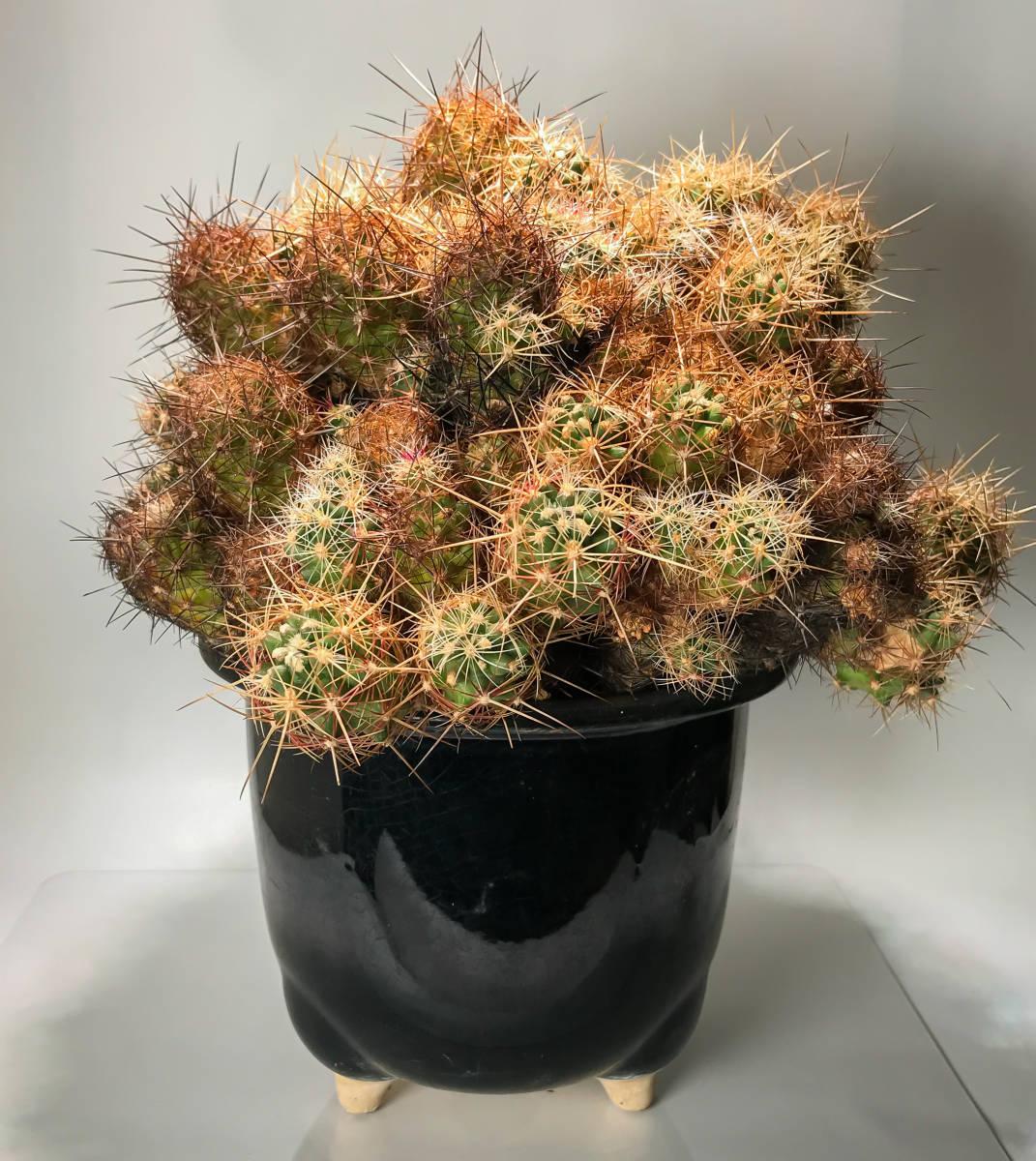 【テロカクタス 大統領 Tephrocactus 】サボテン コーデックス 塊根植物 多肉植物 パキポディウム_画像2