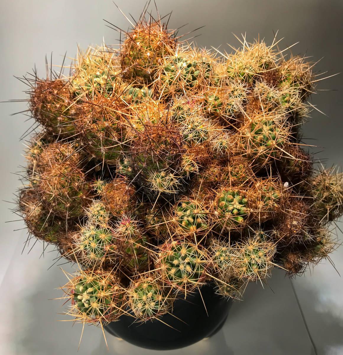 【テロカクタス 大統領 Tephrocactus 】サボテン コーデックス 塊根植物 多肉植物 パキポディウム_画像4