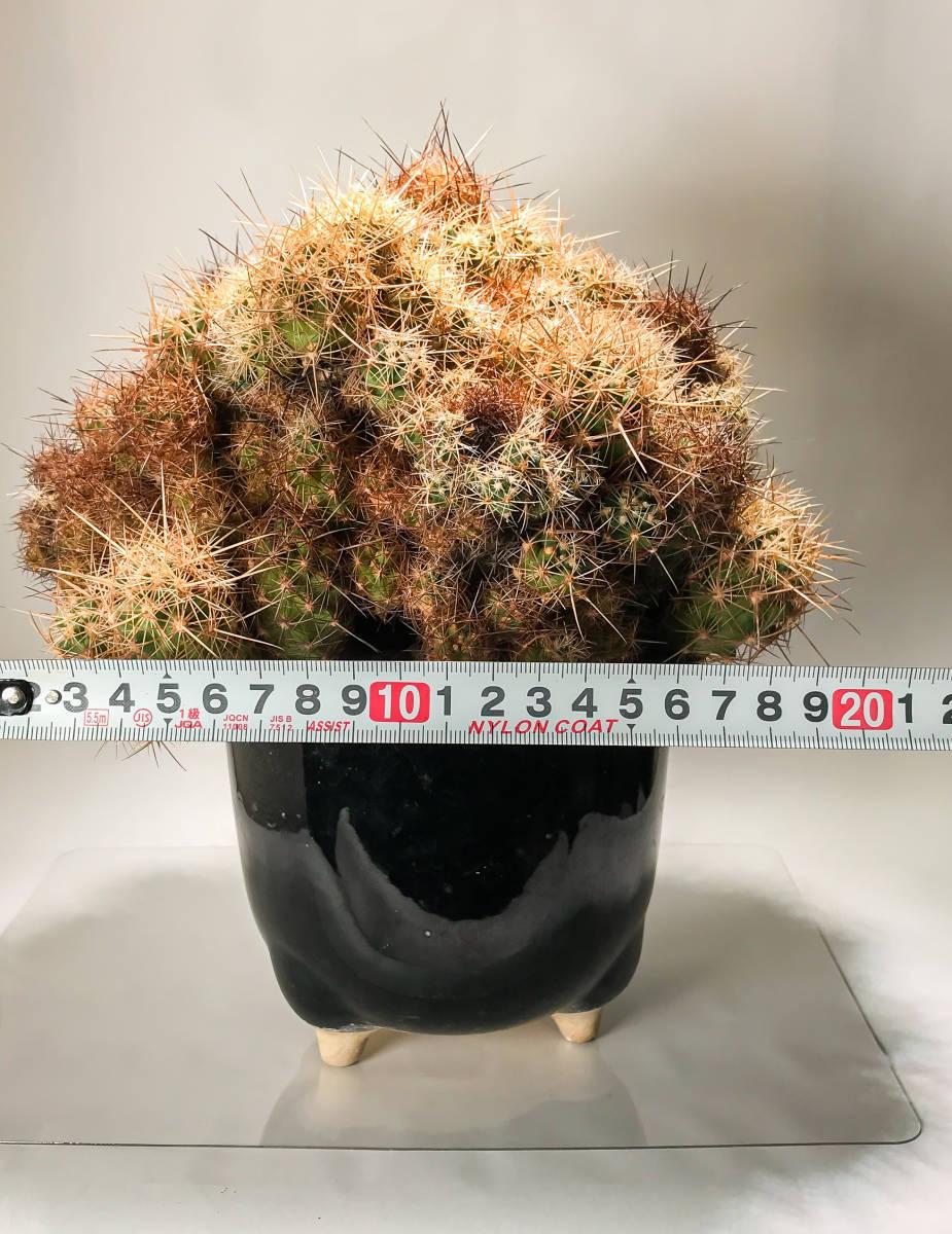 【テロカクタス 大統領 Tephrocactus 】サボテン コーデックス 塊根植物 多肉植物 パキポディウム_画像6