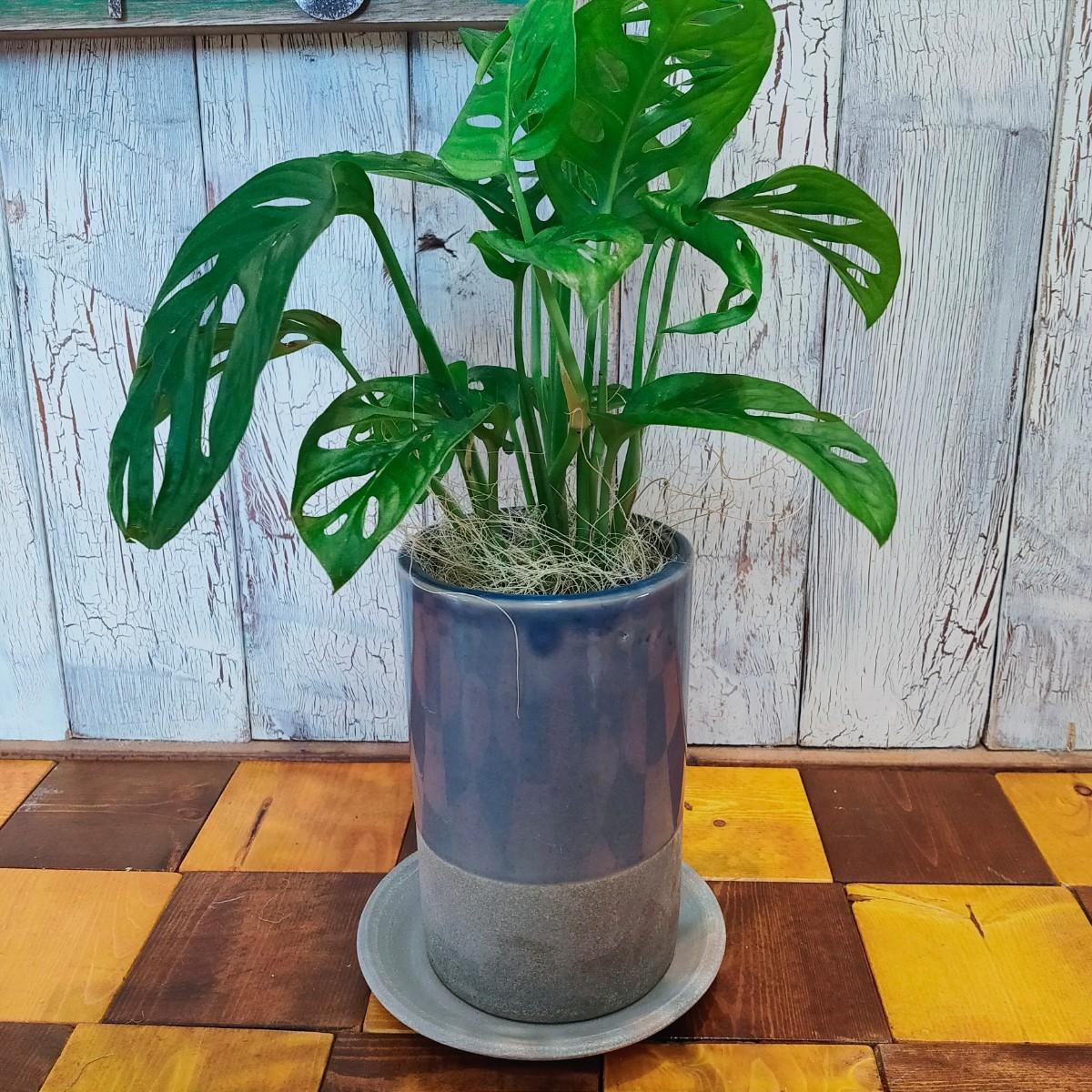 【観葉植物】マドカズラ 受皿付