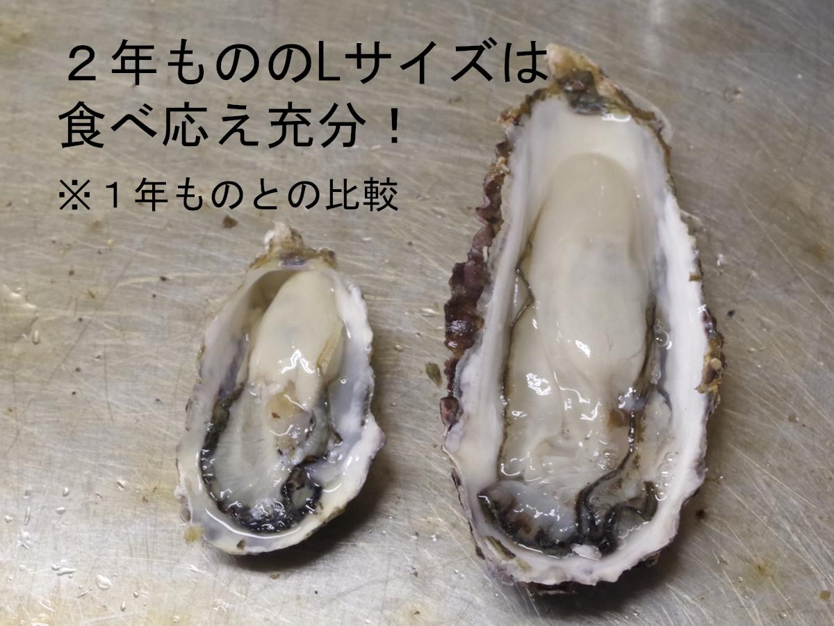 【産地直送】加熱用 殻付き牡蠣 Lサイズ 2kg(16個前後) 宮城県女川産 牡蠣ナイフ、軍手付き COL-OO2_31_画像2