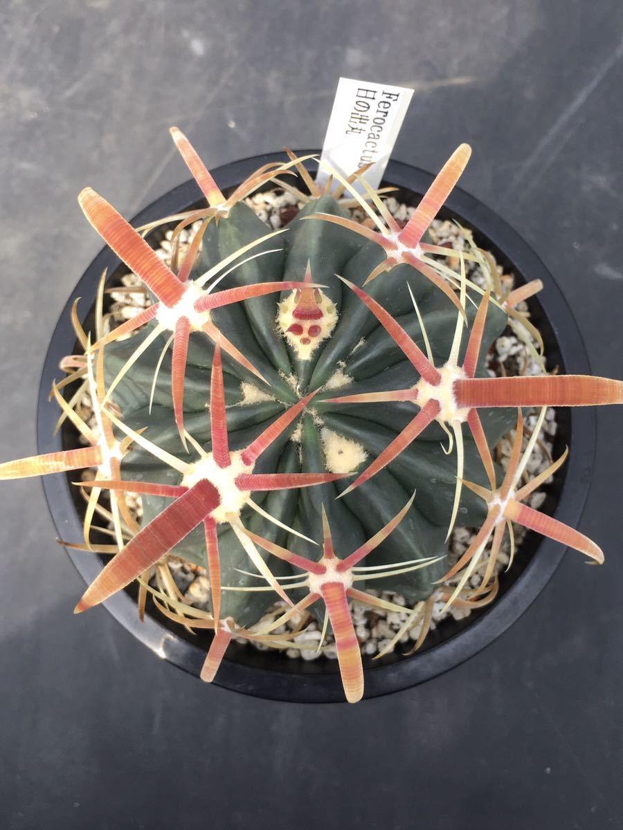 サボテン 多肉植物 (2#) 日の出丸 実生 2本_画像2