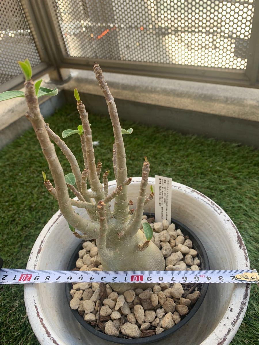 アデニウム 多肉植物 コーデックス 塊根植物 パキポディウムグラキリス