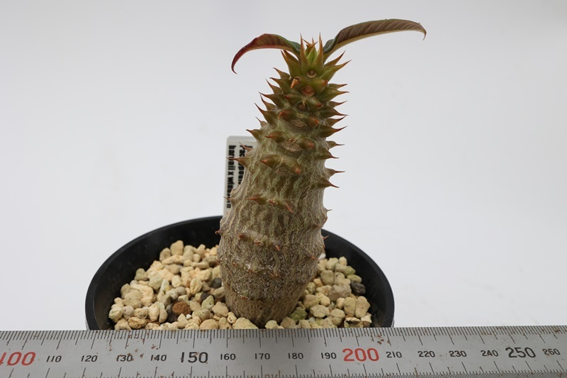 Pachypodium baronii x windsorii パキポディウム バロニーxウィンゾリー ハイブリッド