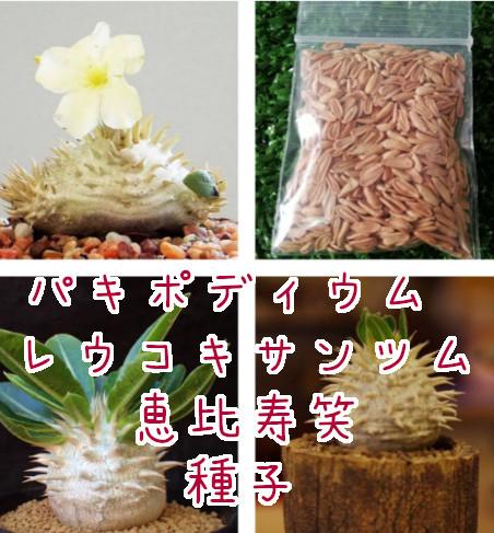 新鮮!パキポディウム レウコキサンツム 恵比寿笑 種子5粒 / グラキリス エブレネウム カクチペス _画像1