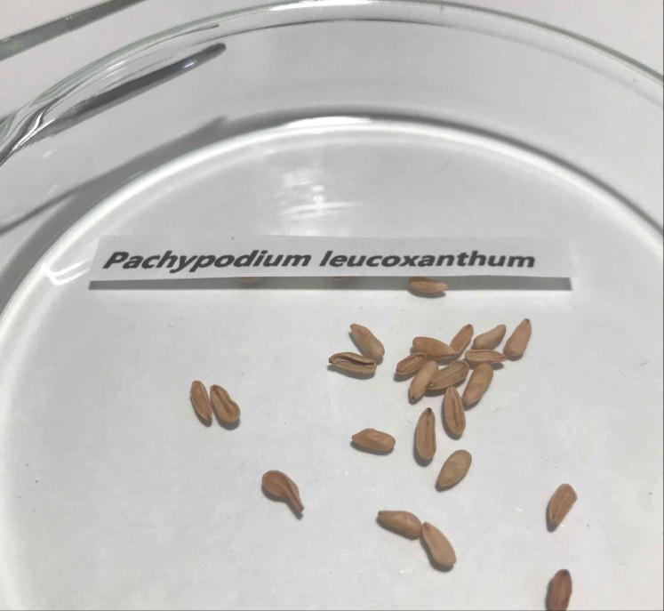 新鮮!パキポディウム レウコキサンツム 恵比寿笑 種子5粒 / グラキリス エブレネウム カクチペス _画像2