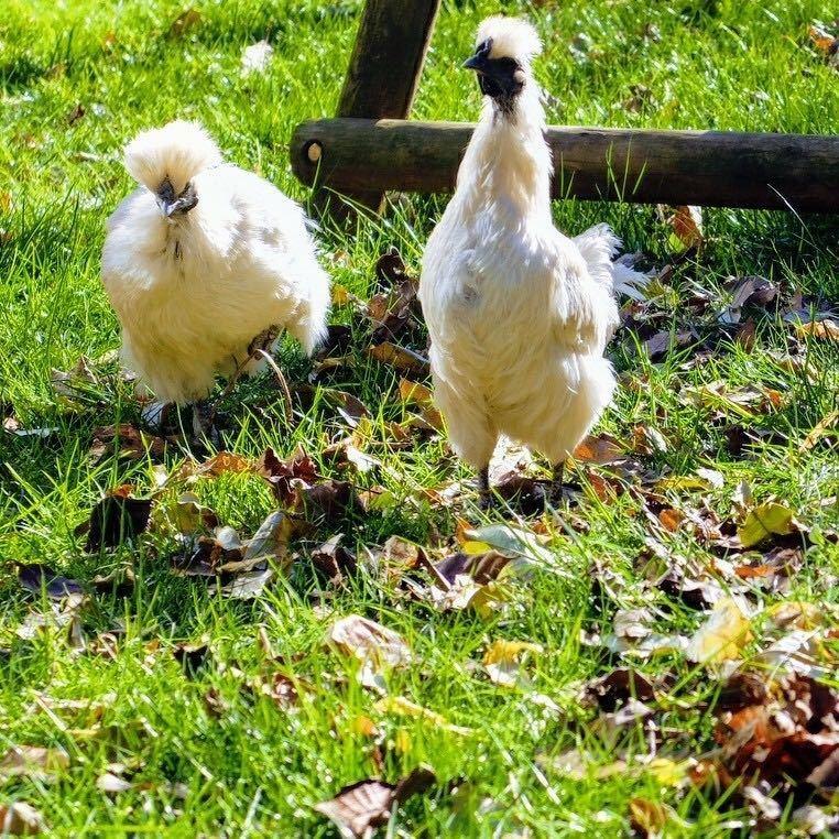 烏骨鶏の卵 必要な個数ご購入下さい 平飼い ゲージフリーエッグ cage-free eggs 有精卵②_画像6