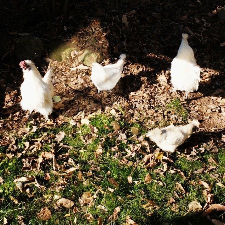 烏骨鶏の卵 必要な個数ご購入下さい 平飼い ゲージフリーエッグ cage-free eggs 有精卵②_画像5