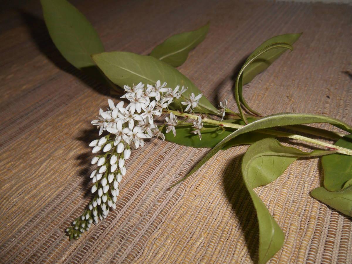 山野草の苗5株◆オカトラノオ(岡虎の尾) サクラソウ科の多年草 _花 下から順に咲かせる、虎の尾に似ている