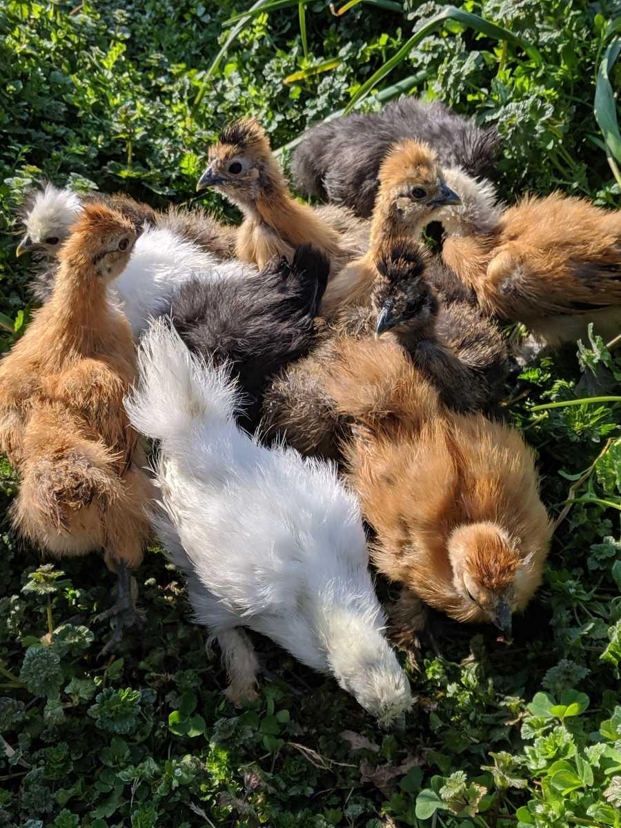 烏骨鶏  シルキー  色々8 個 6日以内 / 自給自足 循環農法 庭先養鶏_現在の親鶏が中雛の時