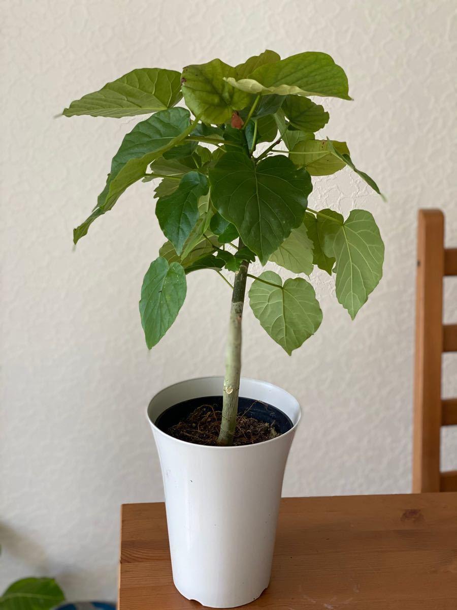 観葉植物 幹太 フィカス ウンベラータ 2