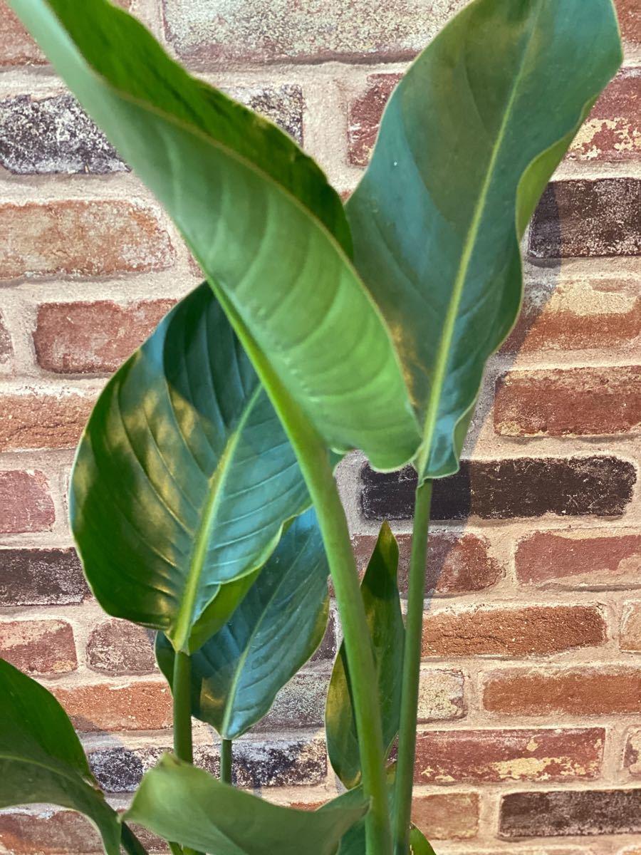 観葉植物 ストレチア オーガスタ 7号鉢 85cm 2株