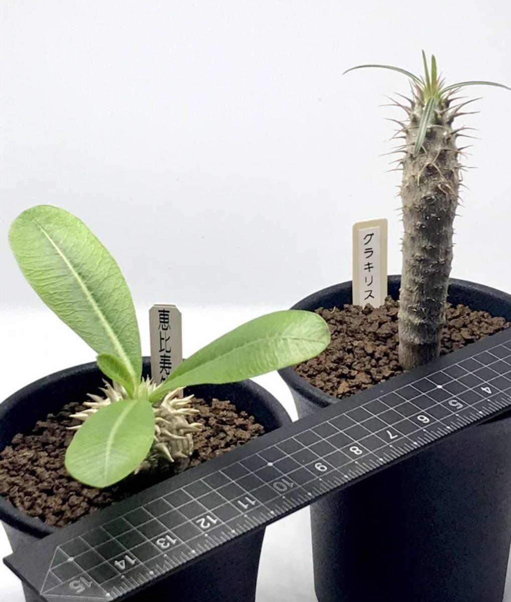 パキポディウム 恵比寿笑い、グラキリス実生苗 2本セット