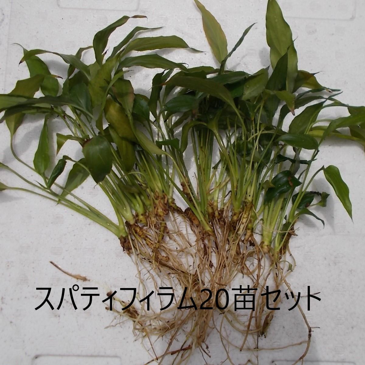観葉植物スパティフィラムの抜き苗20本くらいセット