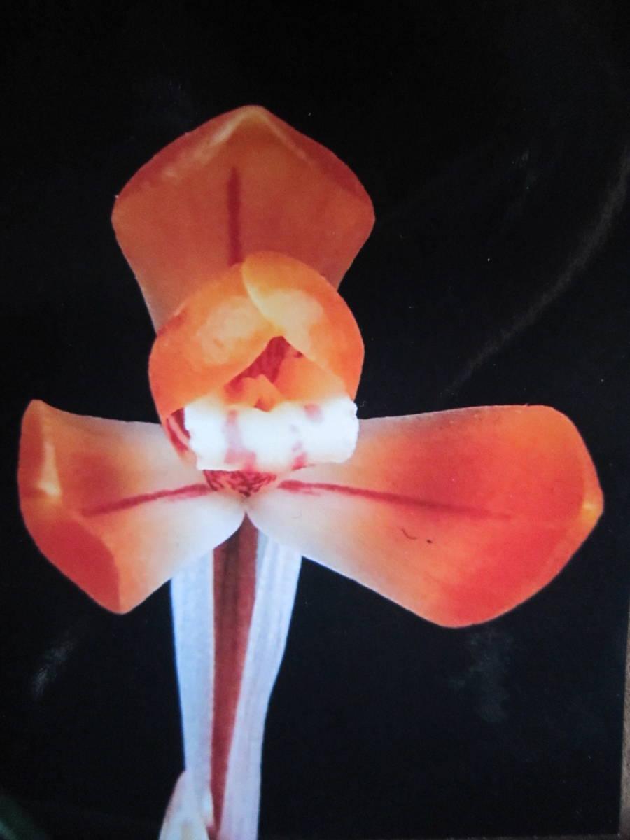 ★☆蘭万園☆★韓国春蘭 赤花「満紅」 中木 4本立  //春蘭、寒蘭、東洋蘭//