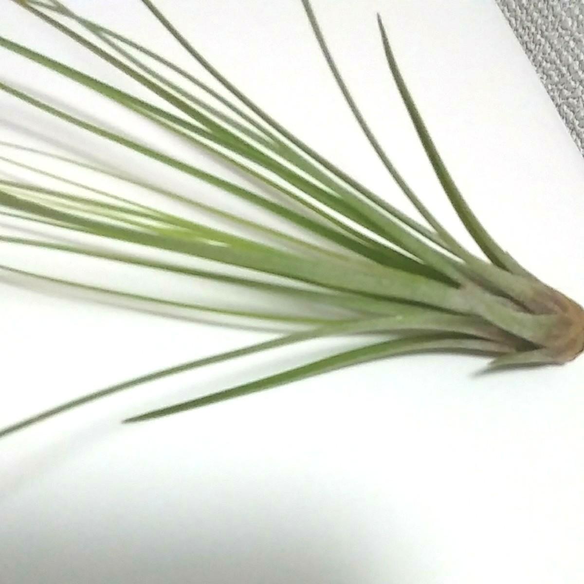 エアープランツ苗 (ジュンシフォリア)