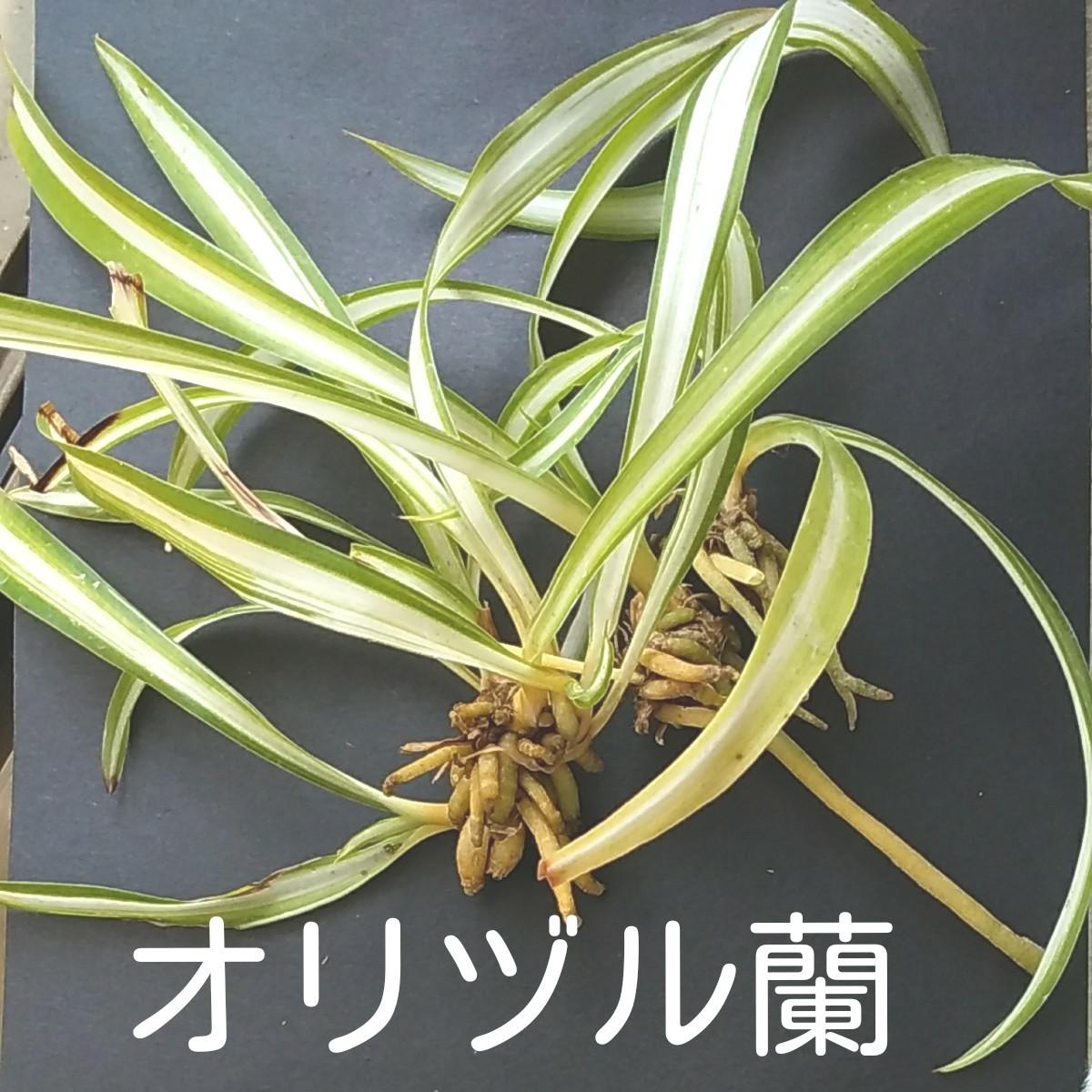 オリヅルラン 子株 (写真の3株) + おまけ(もう少し小さい子株3株)