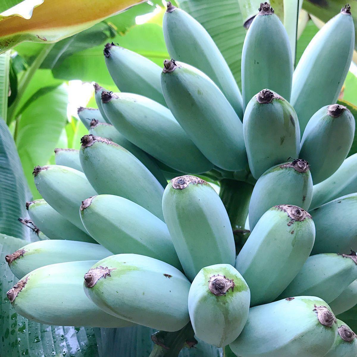 送料無料 2株セット アイスクリーム バナナ苗 (Silver bluggoe種) Hak Muk Nuan 7号ポット(21cm) バナナ 熱帯果樹 果樹 苗 フルーツ