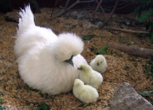 ★東京烏骨鶏有精卵4個+保証3個付き3500円★送料無料~★落札後生みたての卵をお届けします…。_画像3