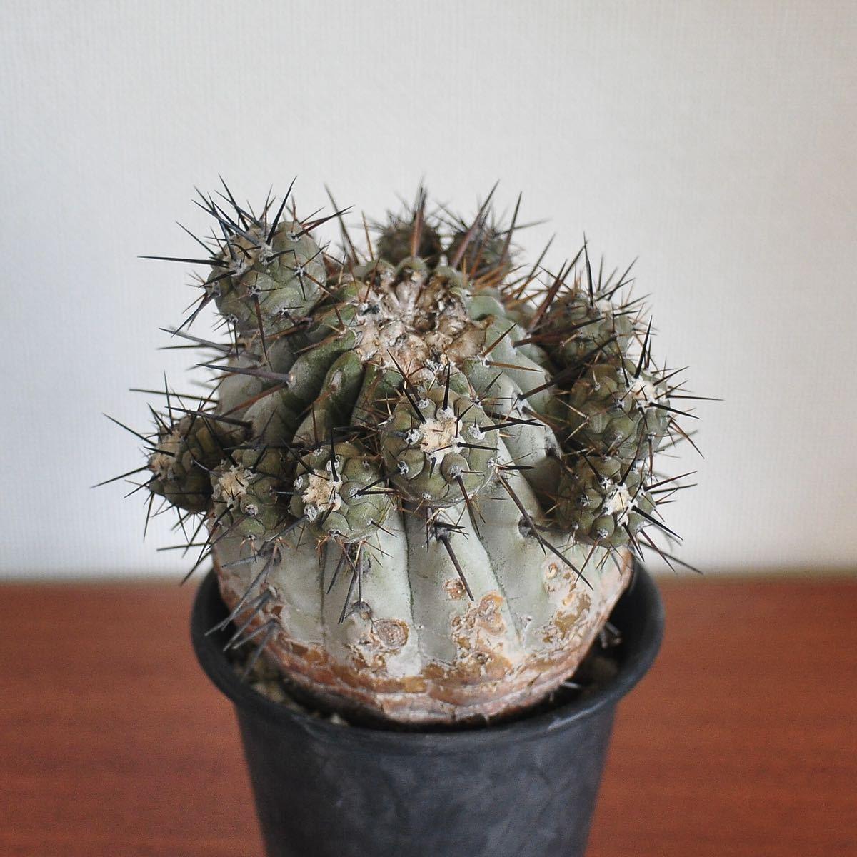 黒王丸 現地球 難あり コピアポア シネレア 多肉植物 サボテン コーデックス 塊根植物