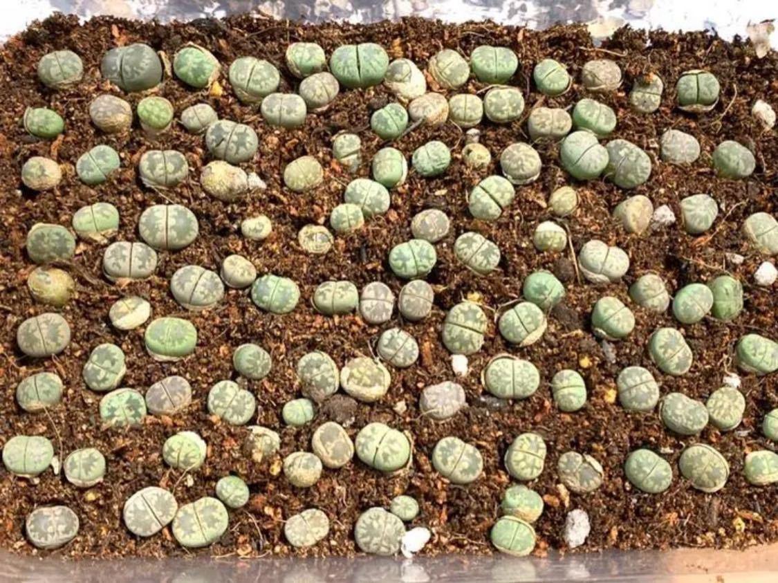 多肉植物 リトープス 大津絵 C128 C350 C128A 混合種子50粒_画像2