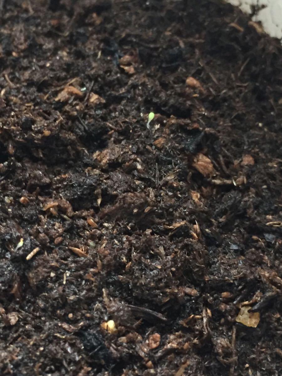 多肉植物 リトープス 大津絵 C128 C350 C128A 混合種子50粒_画像3