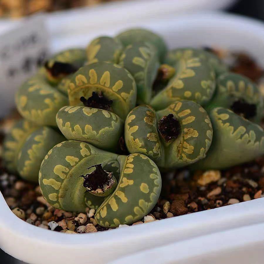 多肉植物 リトープス 大津絵 C128 C350 C128A 混合種子50粒_画像1
