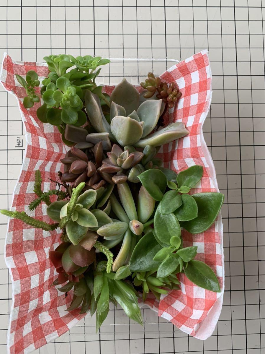 匿名配送 送料込み 丈夫な多肉植物 カット苗 詰め合わせ 10種類以上保証
