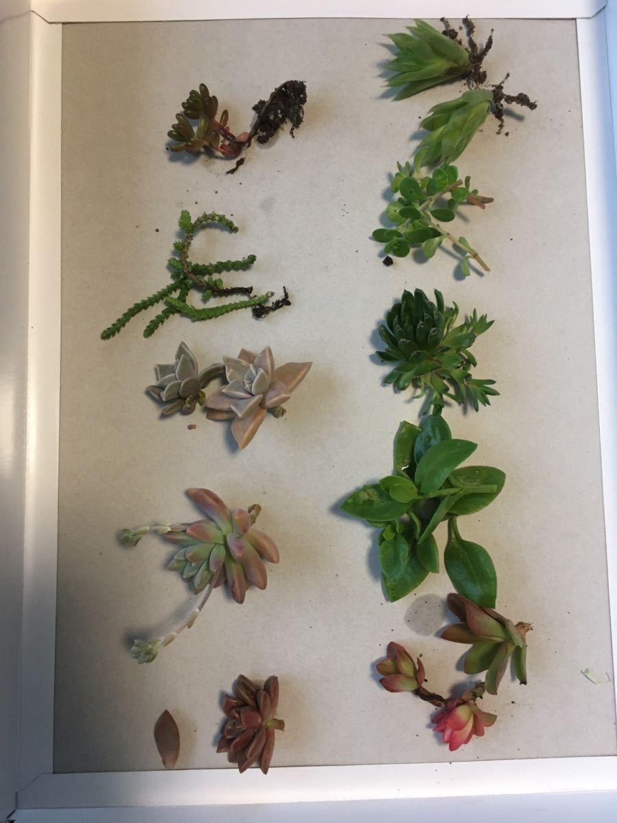 匿名配送 送料込み 丈夫な多肉植物 カット苗 詰め合わせ 10種類とオマケ