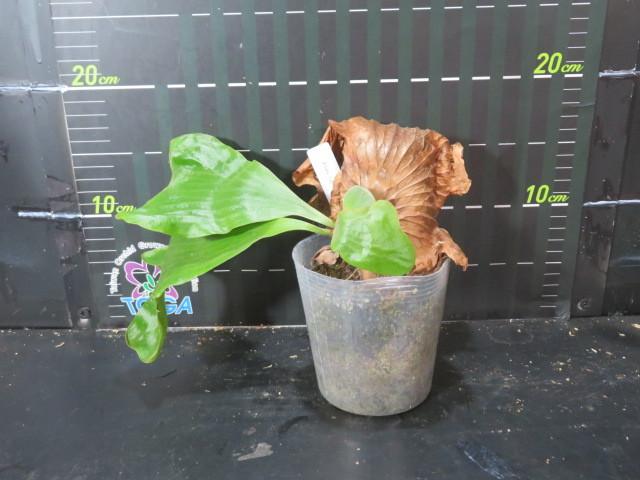 ビカクシダ 交配種 Platy. ( alcicorne (Africa) × elephantotis ) 'N'