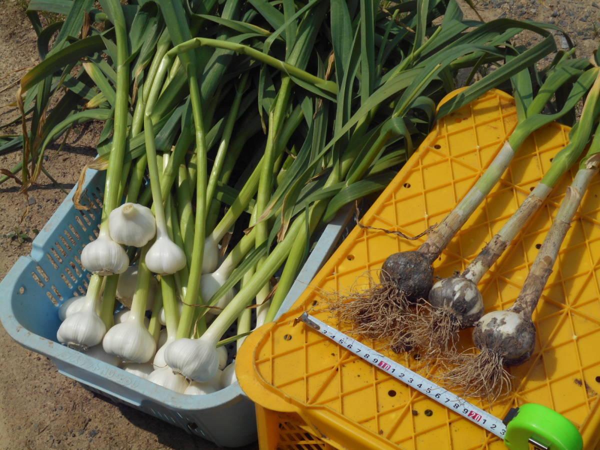 収穫仕立て!超新鮮な山口県産ニンニク 1個(1玉)生の大蒜です。_画像1