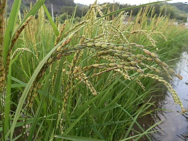 自然栽培 麦まめ君(200g)無肥料・無農薬・自家採取の雑穀米☆熊本県産☆栄養豊富な雑穀米を混ぜて白いご飯は白いままで食べたい方にお奨め_画像4
