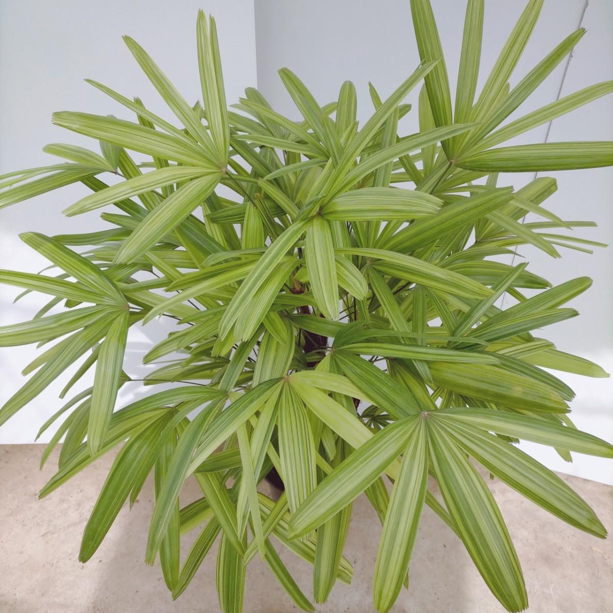 観葉植物 斑入 8号鉢 観音竹 シュロチク