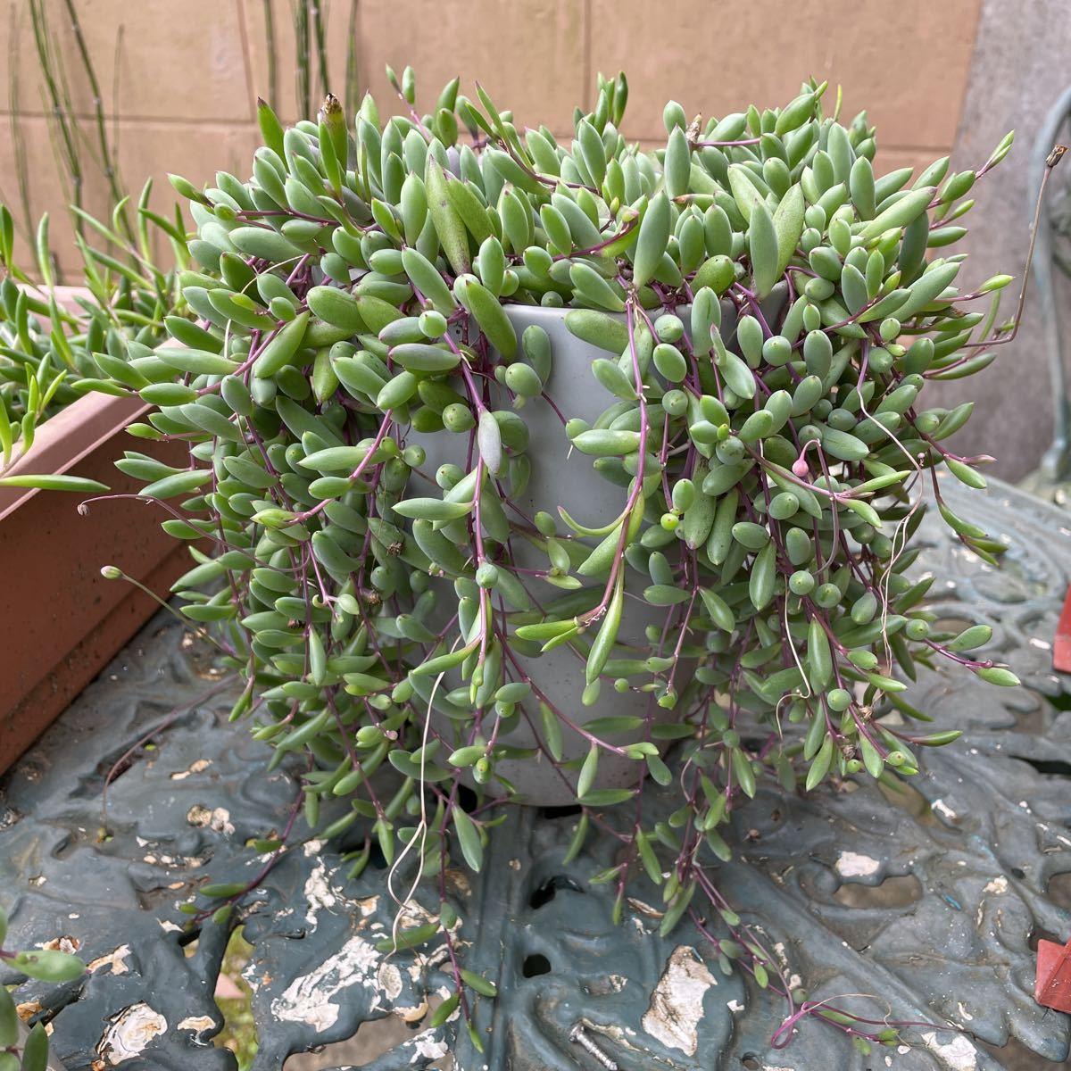 ルビーネックレス 多肉植物 ガーデニング カット苗 根付き 約60cm分 初心者向け 簡単に増える 垂れる_画像6