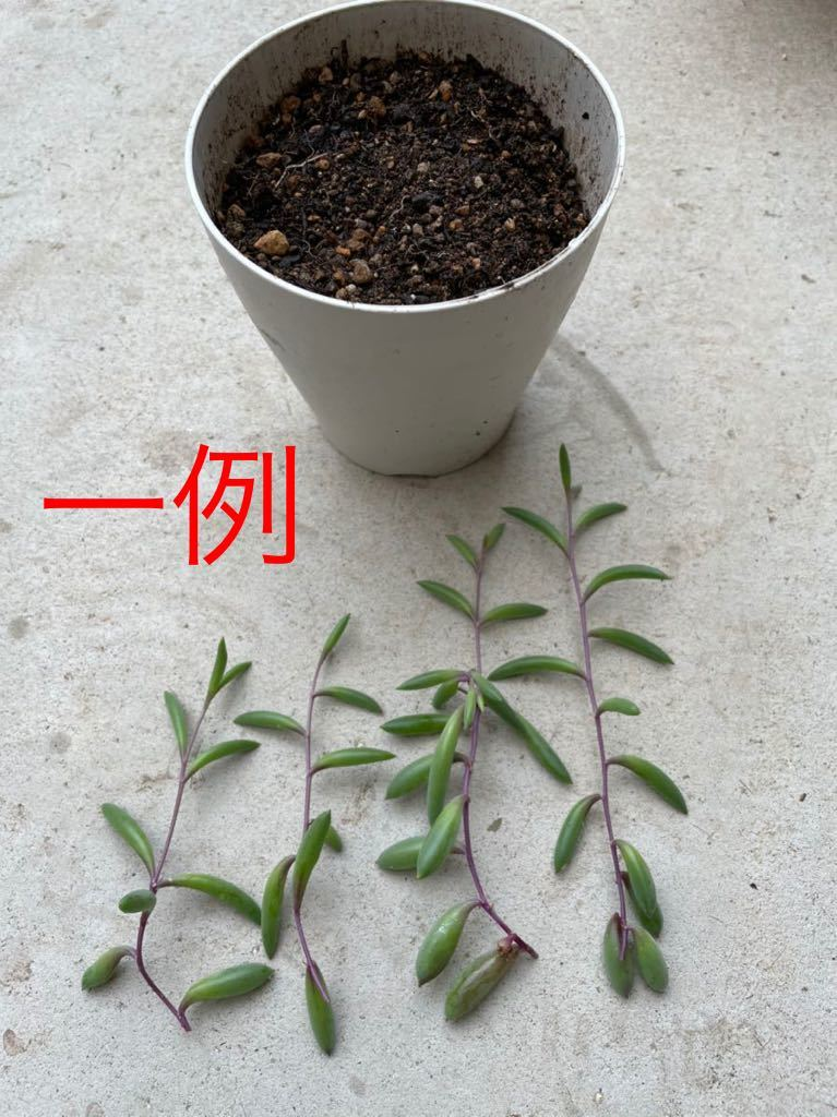 ルビーネックレス 多肉植物 ガーデニング カット苗 根付き 約60cm分 初心者向け 簡単に増える 垂れる_画像5
