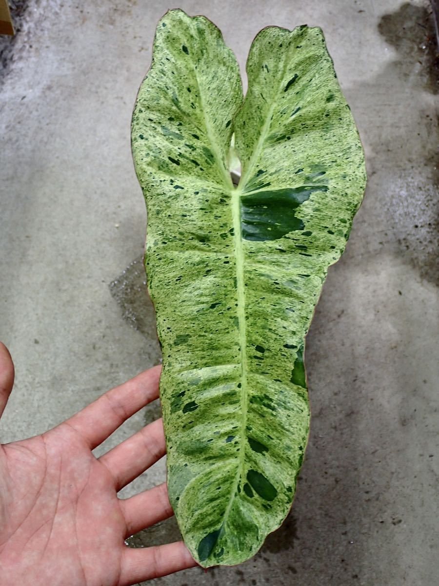 《No.MH07-TGK》フィロデンドロン・パライソヴェルデ 斑入り/philodendron paraiso verde