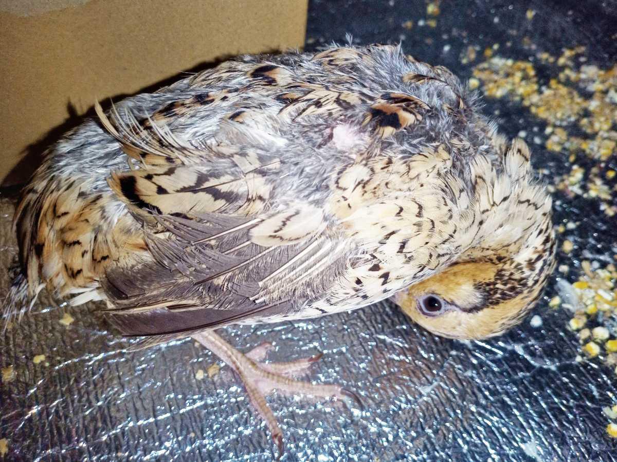 色変わりコリンウズラの種卵8個 コリン鶉 コリンうずら ボブホワイト 有精卵_画像2