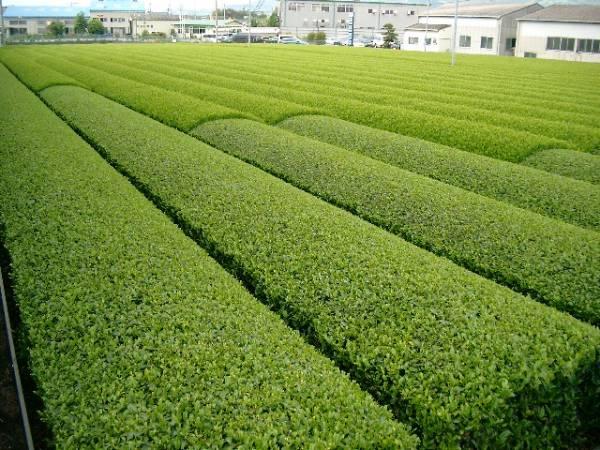 送料無料 2021年産 新茶(品種つゆひかり かぶせ茶)粉茶 静岡県産 200g×3袋/静岡産/カテキン 深蒸し茶 緑茶 深むしのお茶 Green tea_画像2