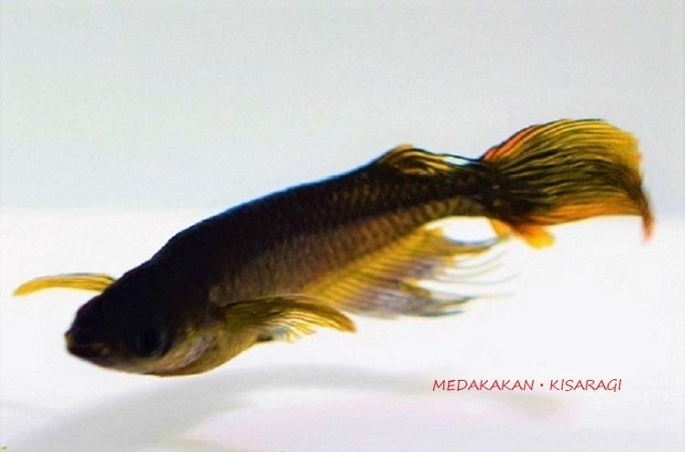 【メダカ舘・如月】激レア超極上サタンレッドテールの子(松井ヒレ長オロチ)MLサイズ雄2匹、雌3匹+おまけ1匹計6匹(GE②)『現物出品』_親水槽の個体です。