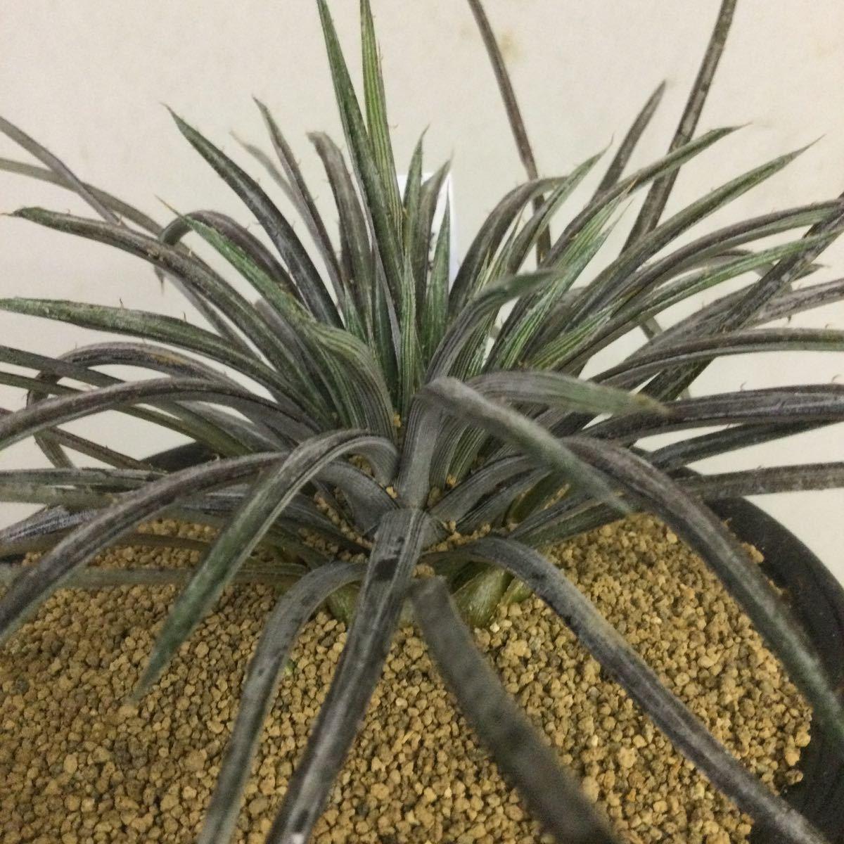 ディキア コリスタミネア 多肉植物