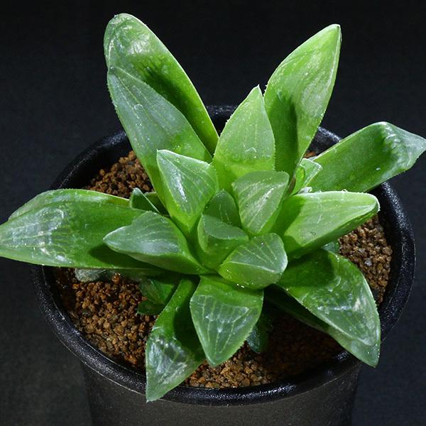 【ハオルチア】 寿宝殿 2.5号 01 Haworthia hyb.retusa 'juhouden' variegata (ハオルシア レア 多肉植物)_画像1