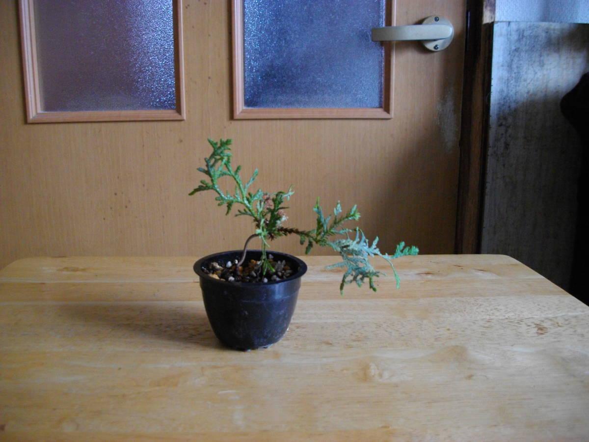 イトヒバ ヒヨクヒバ 盆栽用 苗木 盆栽 素材 糸檜葉 比翼檜葉 実生_イトヒバです。