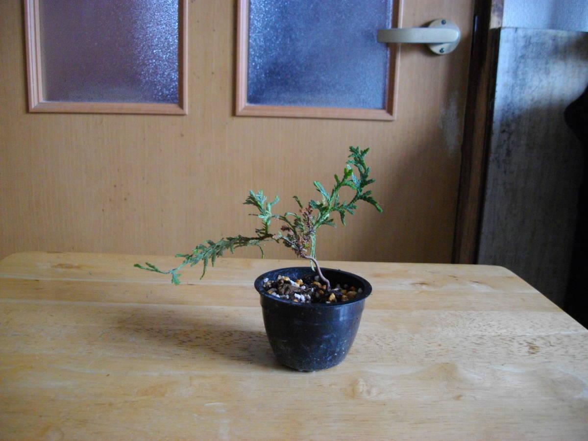 イトヒバ ヒヨクヒバ 盆栽用 苗木 盆栽 素材 糸檜葉 比翼檜葉 実生_画像2