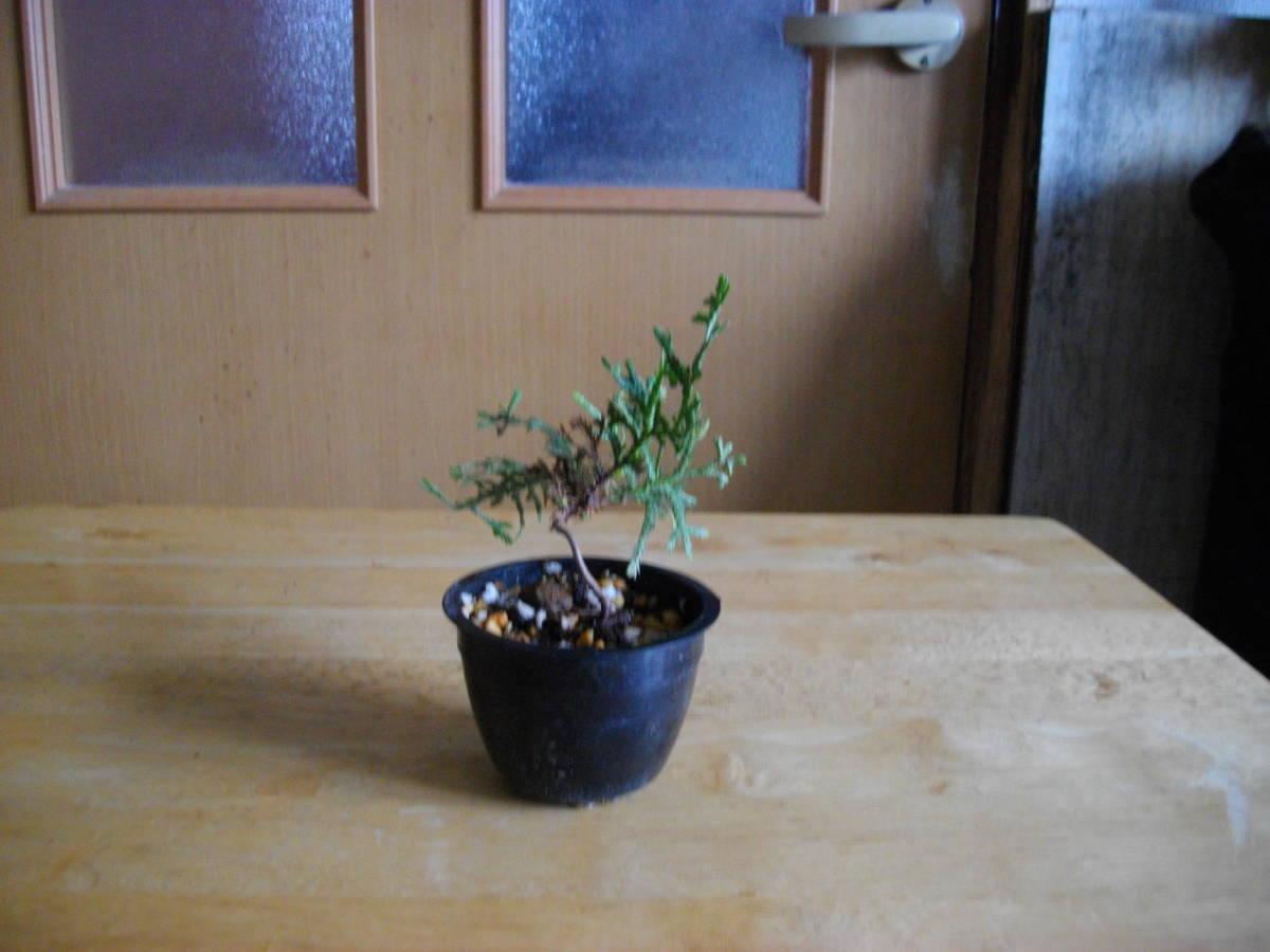 イトヒバ ヒヨクヒバ 盆栽用 苗木 盆栽 素材 糸檜葉 比翼檜葉 実生_画像3