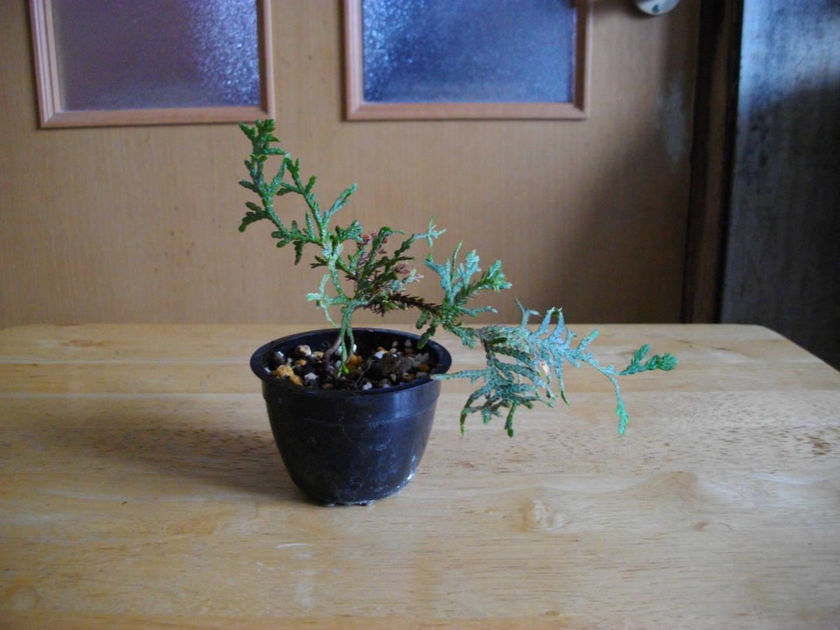 イトヒバ ヒヨクヒバ 盆栽用 苗木 盆栽 素材 糸檜葉 比翼檜葉 実生_画像4