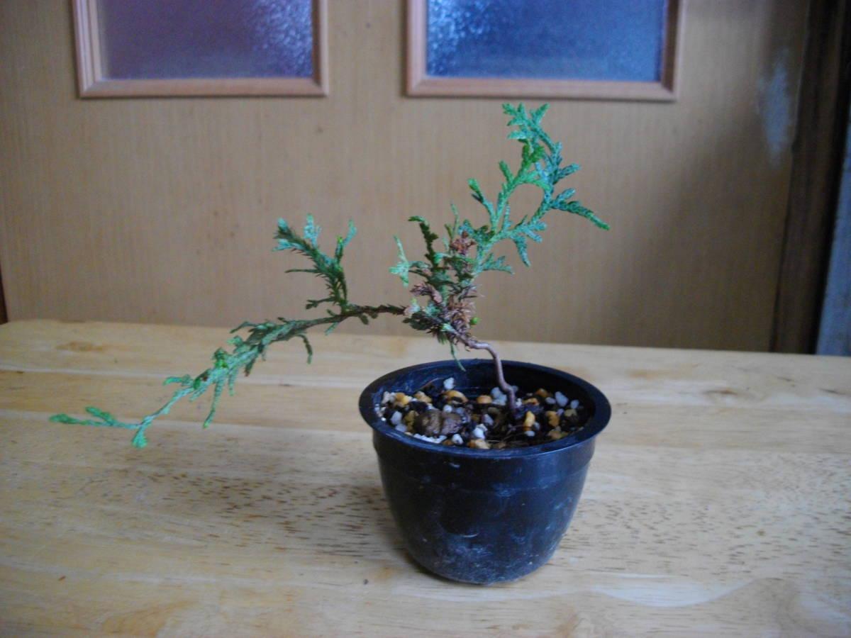 イトヒバ ヒヨクヒバ 盆栽用 苗木 盆栽 素材 糸檜葉 比翼檜葉 実生_画像5