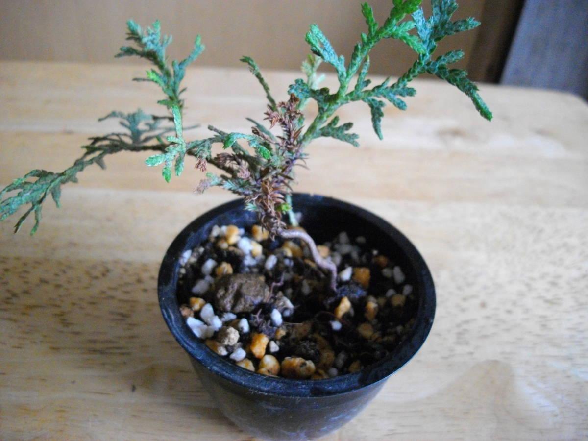 イトヒバ ヒヨクヒバ 盆栽用 苗木 盆栽 素材 糸檜葉 比翼檜葉 実生_樹形がくねくねしています。