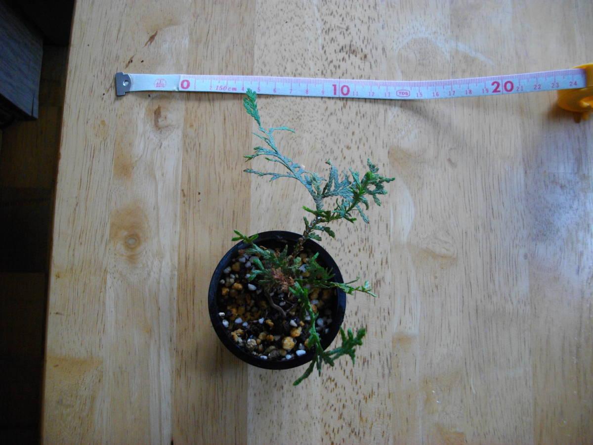 イトヒバ ヒヨクヒバ 盆栽用 苗木 盆栽 素材 糸檜葉 比翼檜葉 実生_画像7