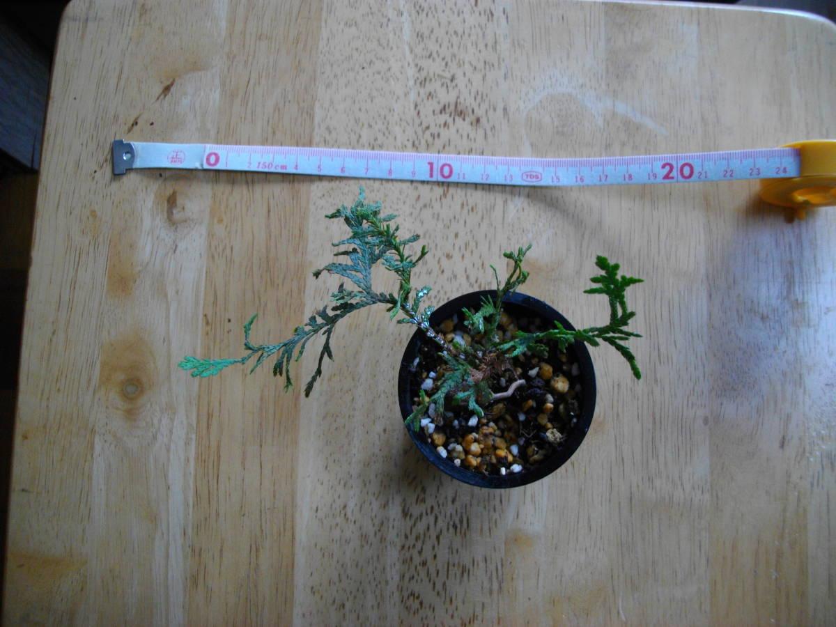 イトヒバ ヒヨクヒバ 盆栽用 苗木 盆栽 素材 糸檜葉 比翼檜葉 実生_画像6