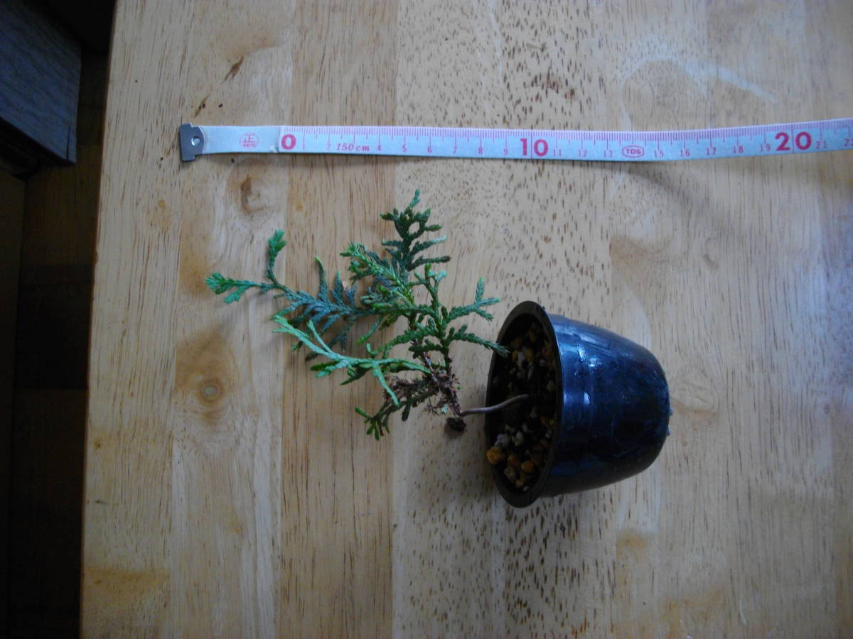 イトヒバ ヒヨクヒバ 盆栽用 苗木 盆栽 素材 糸檜葉 比翼檜葉 実生_画像8